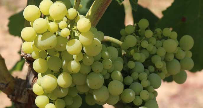 green grapes