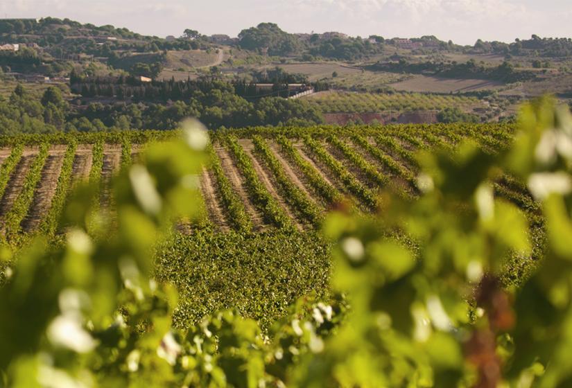 Panoramic view of the vineyard