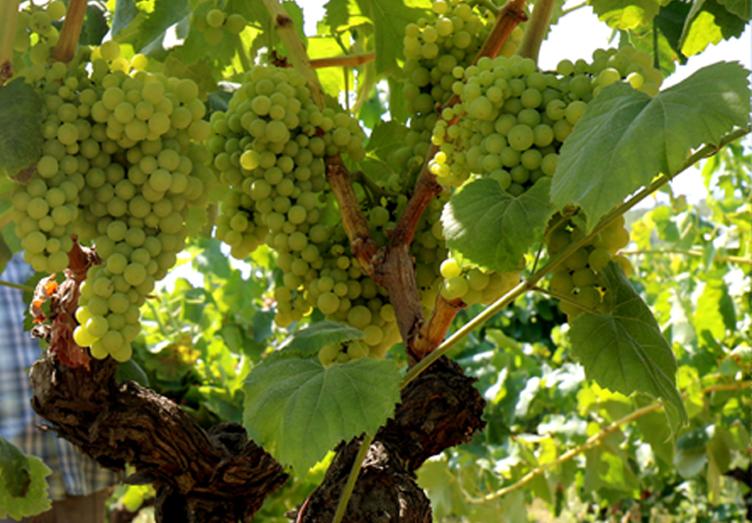 vine-grapes
